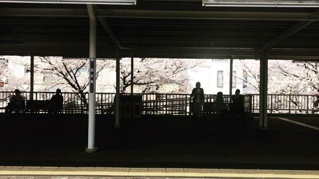 西京極駅の桜